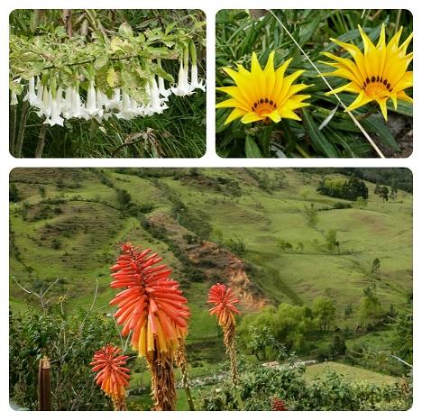 flores-silvia-cauca Kniphofia uvaria